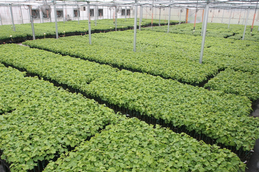 Inside Novavine Nursery greenhouse with new plants