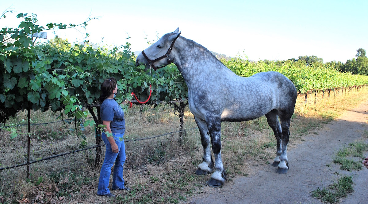 Dana DiRicco and her Percheron at Elk Mountain Vineyards