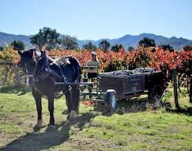 Percheron draft horse at Elk Mountain Vineyard
