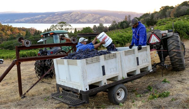 Vineyard workers harvesting grapes