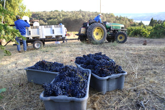 Bins of red winegrapes with tractor and vineyard workers