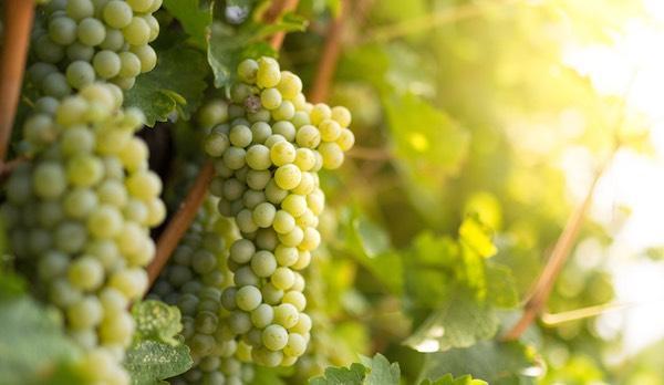 Clusters of Sauvignon Blanc on the vine