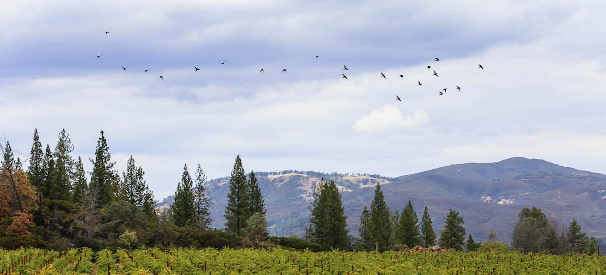 Vineyards, trees, mountains, birds