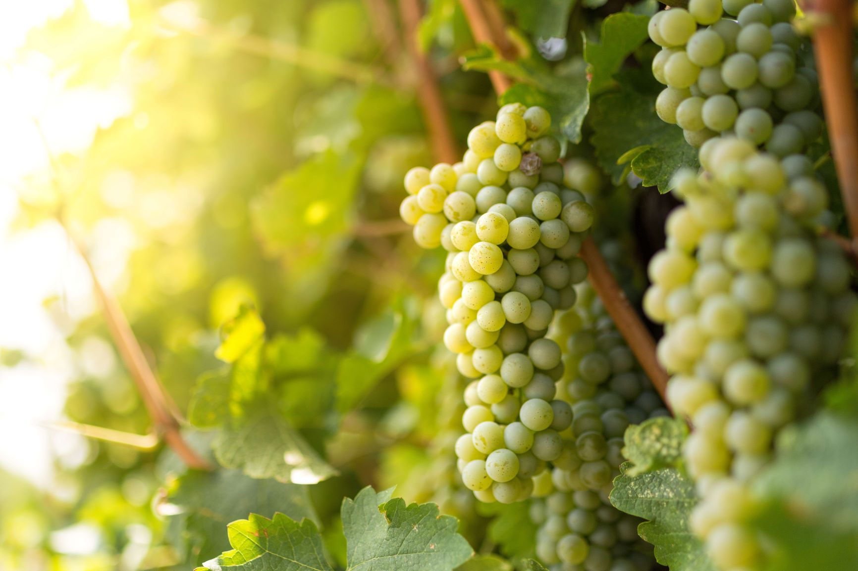 Clusters of Sauvignon Blanc grapes on the vine