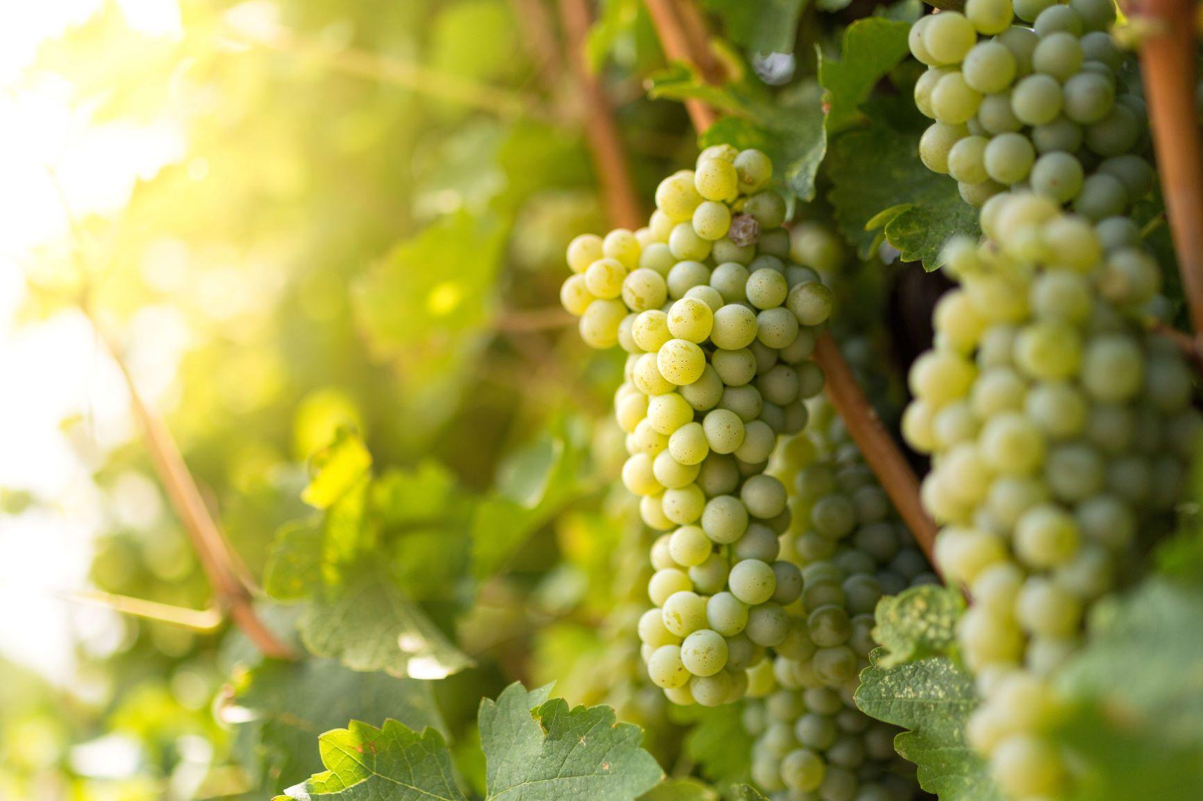 Sauvignon_Blanc_Grapes