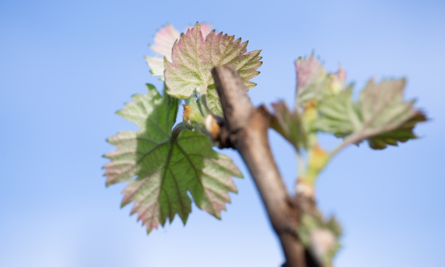 Bud break in the vineyards, Lake County, CA by Nathan DeHart