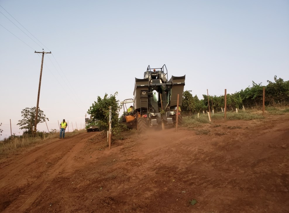 Harvest 2019 gets underway in Lake County with a Sauvignon Blanc pick in the early morning hours at Shannon Ridge in High Valley AVA. Photo credit: Shannon Ridge Family of Wines.