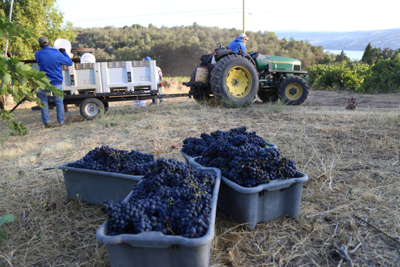 Grape harvest in Lake County, photo by Nathan DeHart