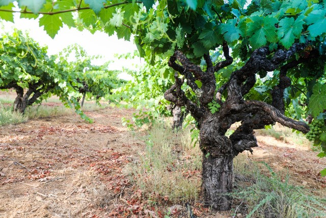 Close up of grapevine
