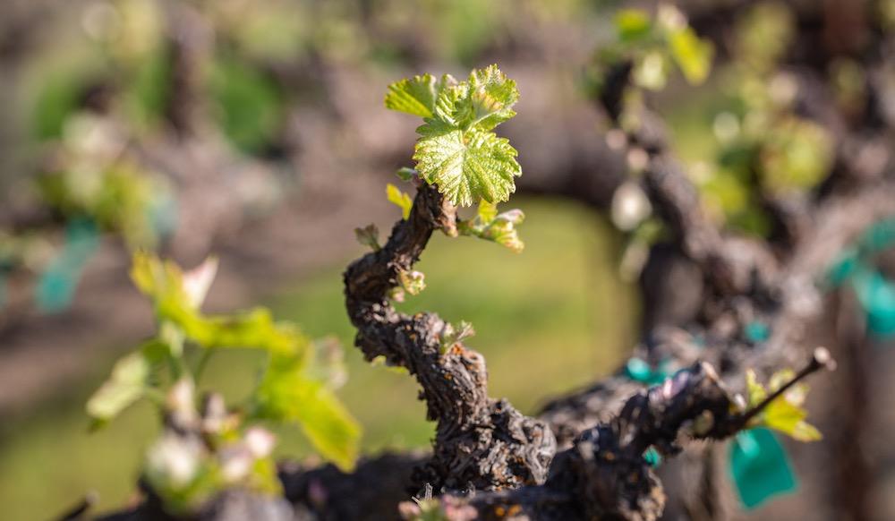 Bud break in a Lake County vineyard by Nathan DeHart
