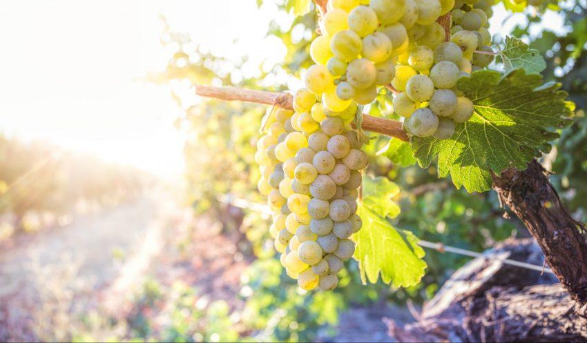 Close up of Sauvignon Blanc clusters