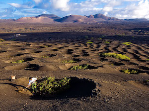 Vineyards on Canary Islands, Food & Wine article (c) Getty Images