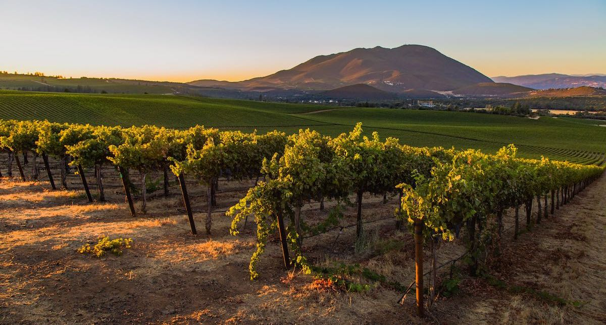 Lake County vineyards growing on volcanic soils with Mt. Konocti in the background