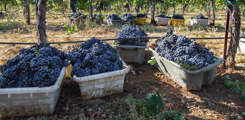 Winegrape harvest, Lake County Calif, by Nathan DeHart