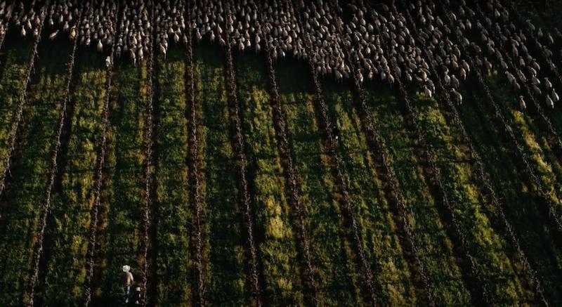 Shannon Ridge Sheep